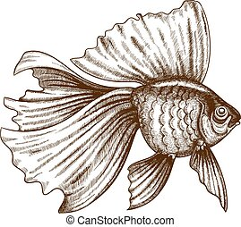 illustration of engraving goldfish - vector illustration of...
