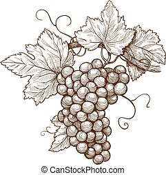 engraving grapes on the branch - vector illustration of...
