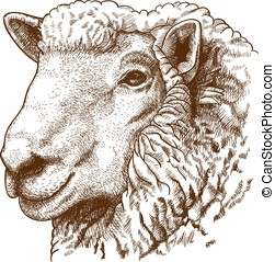 ngraving head of sheep - vector illustration of engraving ...