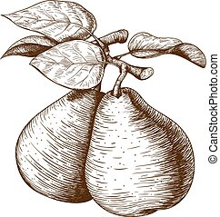 vector illustration of engraving pear and leaf on the branch on white background