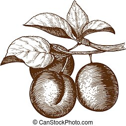 engraving plum on the branch - vector illustration of...