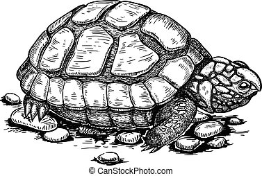 illustration of engraving turtle - vector illustration of...