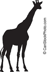 Giraffe - vector illustration of Giraffe on white background