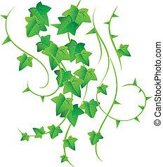 Green ivy - Vector illustration of Green ivy