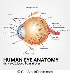 Human eye anatomy, right eye viewed