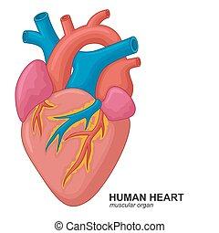 Human heart cartoon - vector illustration of Human heart...