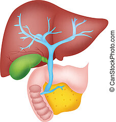 vector illustration of Human liver anatomy