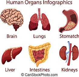 Human organs cartoon Infographics illustration vector