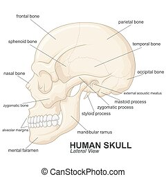 Human skull lateral view with explanation - vector...