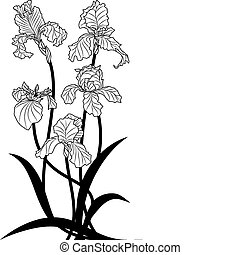 irises - vector illustration of irises in black and white ...