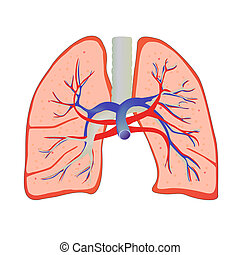 vector illustration of isolated human lung anatomy