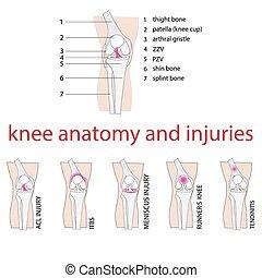 knee anatomy - vector illustration of knee anatomy with...