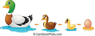 Life cycle of a duck - Vector illustration of Life cycle of...