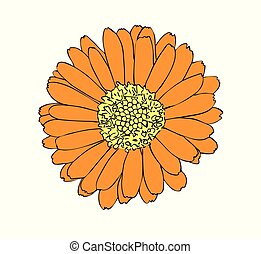Vector illustration, isolated orange marigold flower, outline hand painted drawing