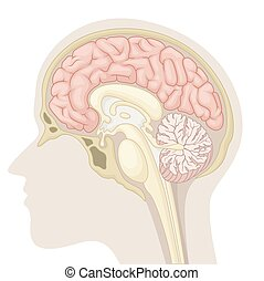 Median section of human brain - vector illustration of ...