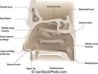 nose anatomy - vector illustration of nose anatomy on white...