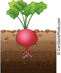 Red radish plant with roots underground