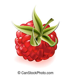 Vector illustration of ripe raspberry on white background.