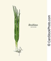 Vector illustration of Scallions - Spring onions hand drawn...