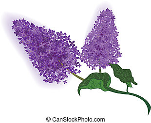 lilac - vector illustration of the lilac branch
