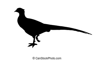 vector illustration of the pheasant on white background