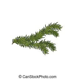 Vector illustration of the Spruce branch isolated on white.
