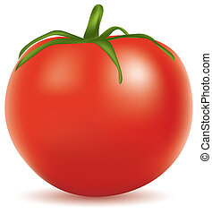tomato - vector illustration of tomato