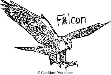 vector illustration sketch hand drawn with black lines of falcon isolated on white background