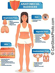 Vector illustration with anatomical barriers scheme. Human body with respiratory, digestive, genitourinary tract, eyes and skin zoom and close ups.