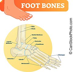 Vector illustration with foot bones. Medical diagram with...