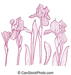Vector illustration with iris for greeting card. - Irises...