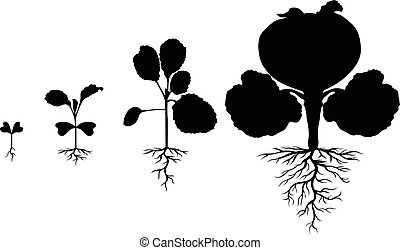 Set of silhouettes of cabbages plants