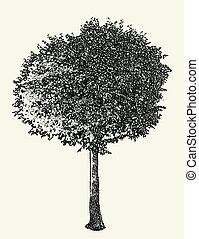 Vector image of a deciduous tree