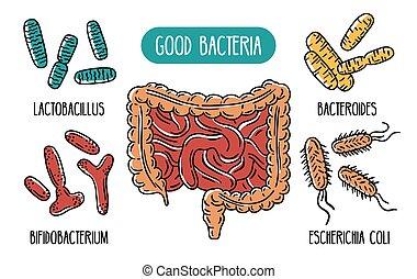Vector infographics of the good human gut bacteria