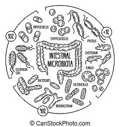 Vector infographics of the human gut microbiota