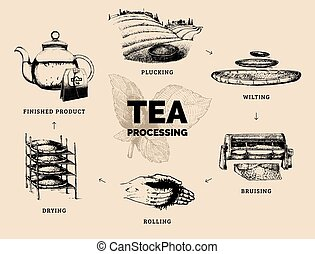 Vector infographics with illustrations of tea processing. Hand sketched scheme of authentic tea production.