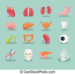 Vector internal organs cartoon icon