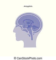 Vector isolated illustration of Amygdala in man head. Human ...