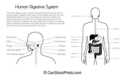 Vector isolated illustration of digestive system - Vector ...