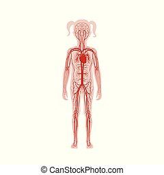circulatory system anatomy