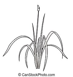 Vector isolated reed. Outlined water plant.