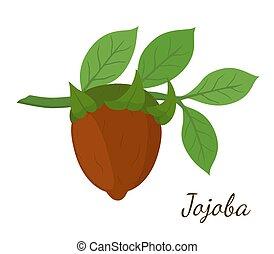 Vector jojoba branch, simmondsia chinensis, cosmetics plant, organic oil, aroma herb. Made in cartoon flat style