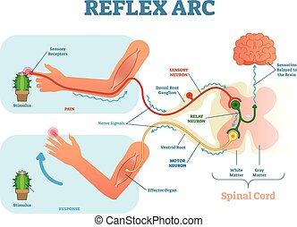 vector, koord, relay, illustratie, stimulus, reflex, neuron, neuron, anatomisch, sensorisch, spinal, boog, motor, tissue., muscle, plan, weg