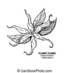vector, mí, aislado, ylang, drawing., ilustración, vendimia