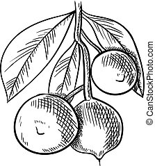 Vector Macadamia Nuts Branch, Sketchy Illustration, Hand Drawn Icon, Black Drawing, Isolated.