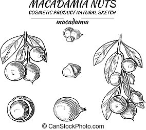Vector Macadamia Sketches Set, Black Drawing Isoalted Nuts Illustration.
