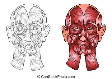 Vector medical illustration of human, muscles of the head.