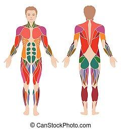 body, muscle - vector muscular human body, muscle man...