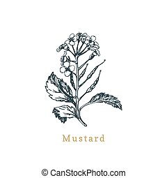 Vector mustard sketch. Drawn spice, medicinal herb. Botanical illustration of organic plant. Used for farm sign, shop label.