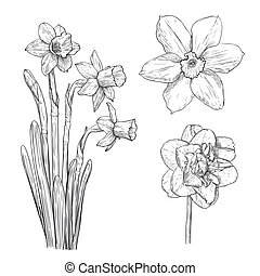 Vector illustration with narcissus in vintage engraving style.
